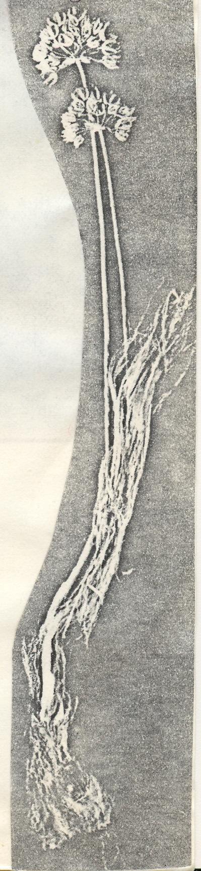 Allium%20longicollum.jpg
