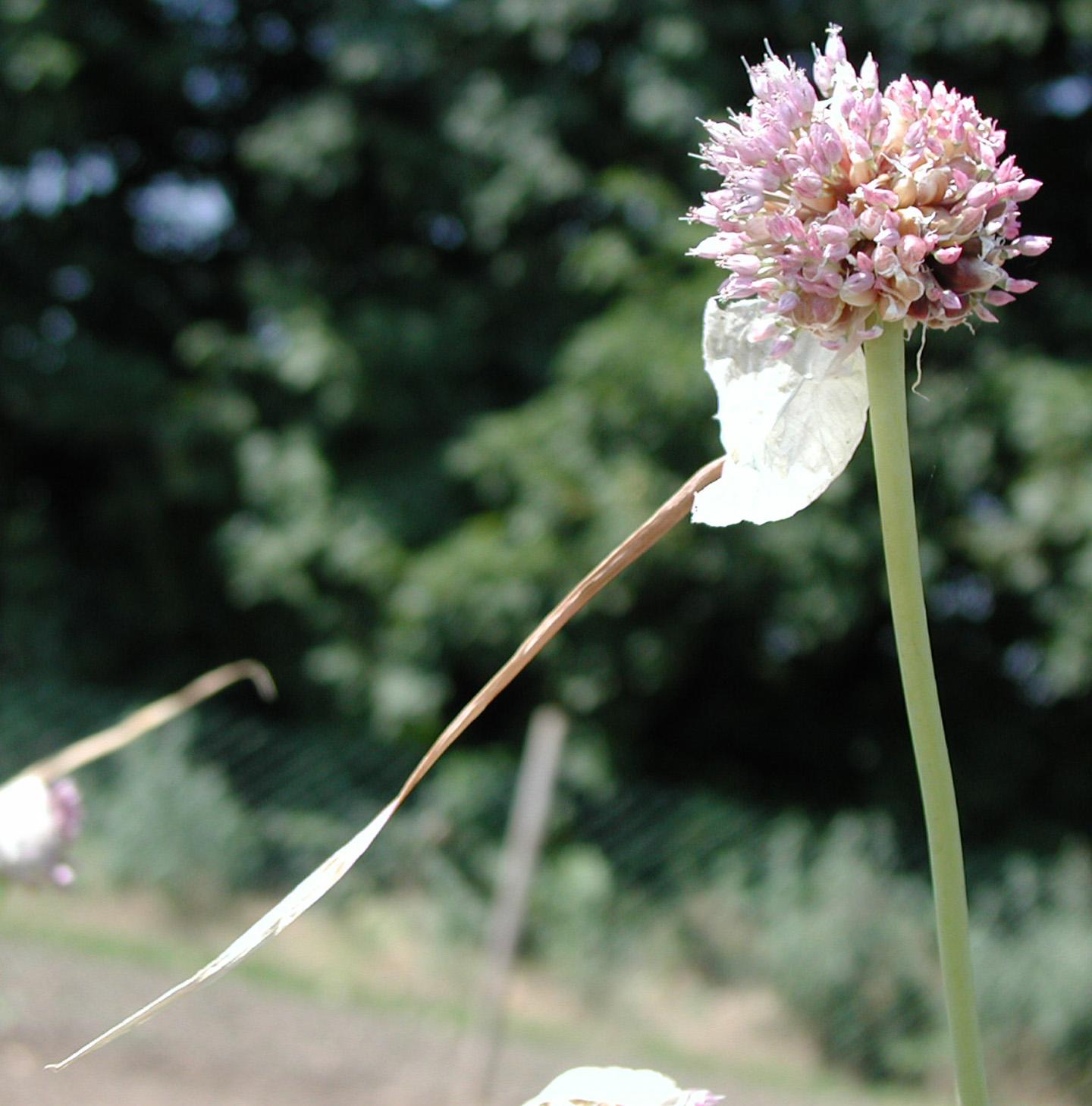 Allium%20longicuspis.jpg