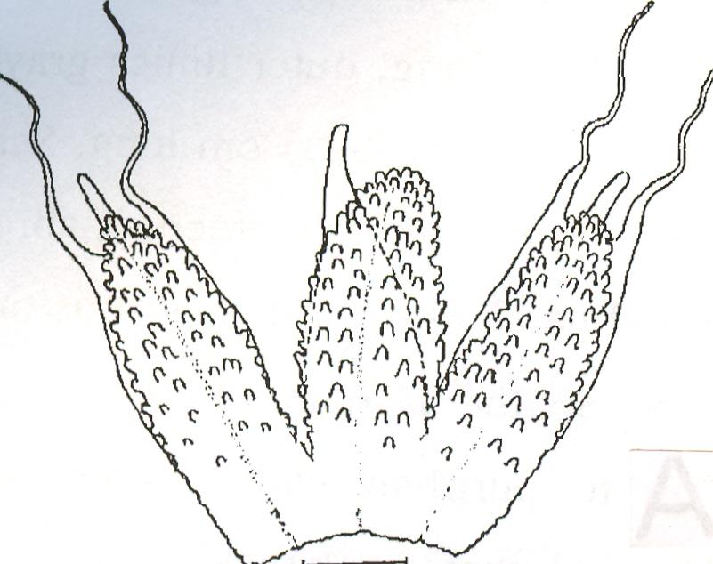 Allium%20longipapil.jpg