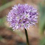 Allium%20loratum.jpg