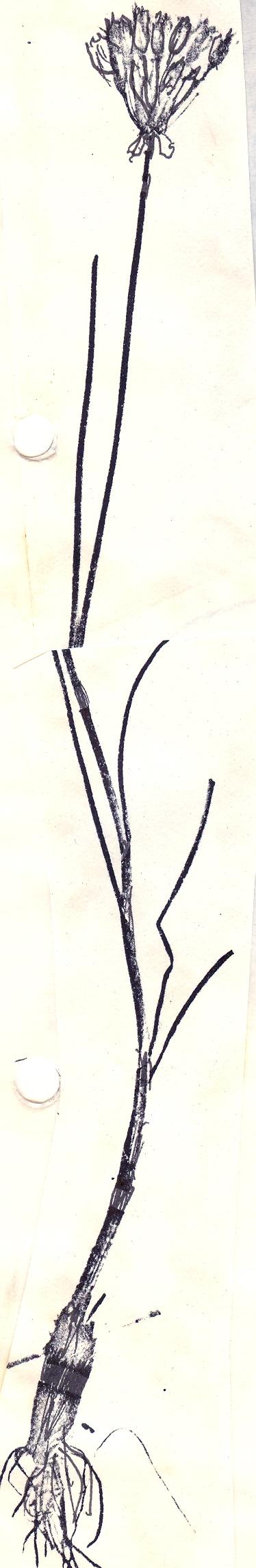 Allium%20lutescens.jpg