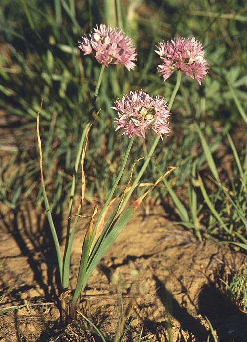 Allium%20maackii.jpg