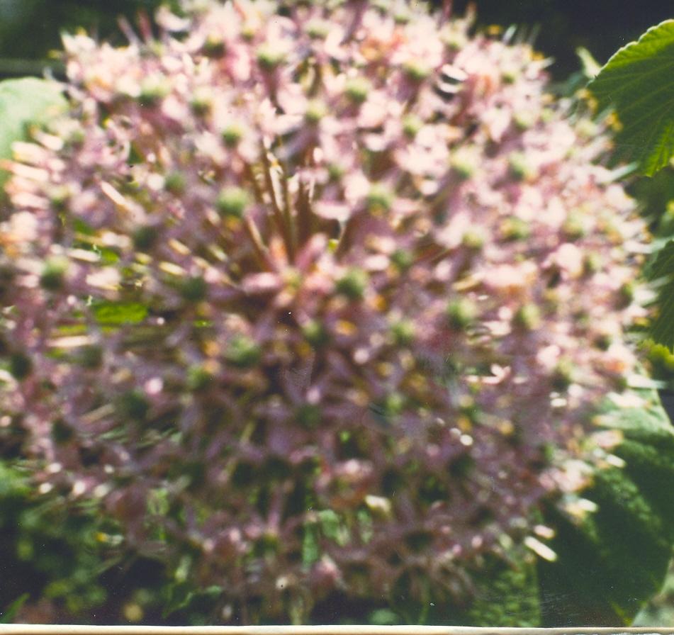 Allium%20macleanii.jpg