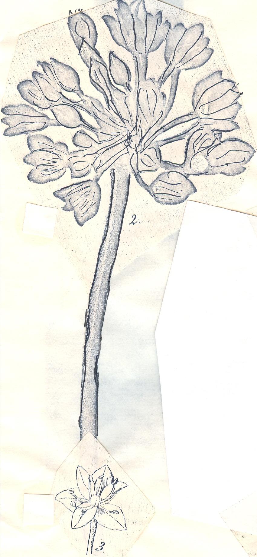 Allium%20macnabianum.jpg