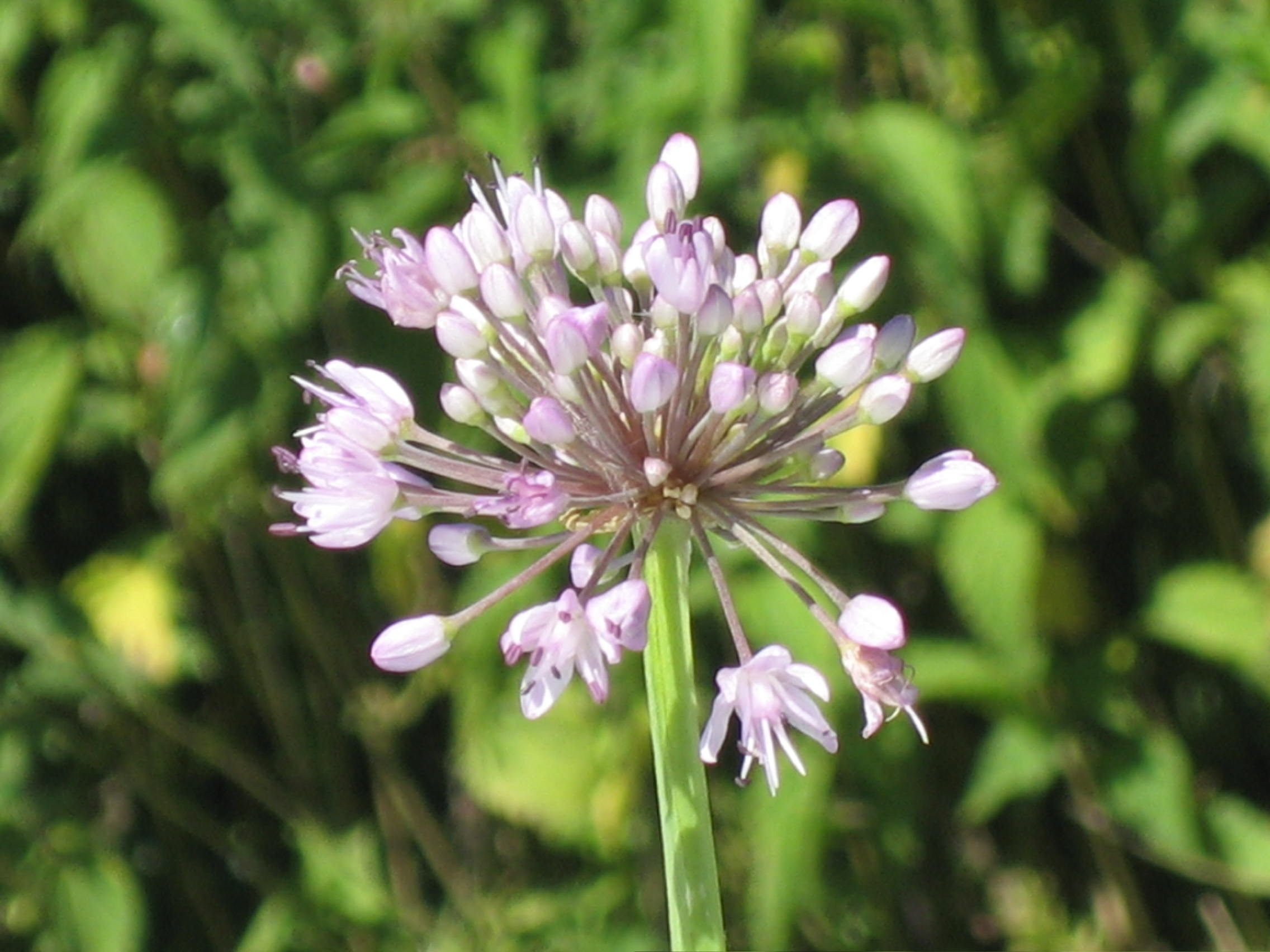 Allium%20macrostemon.jpg