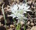 Allium%20macrum.jpg