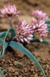 Allium%20madidum.jpg