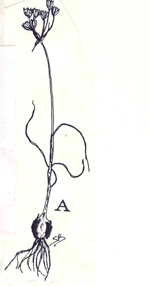 Allium%20maniaticum.jpg