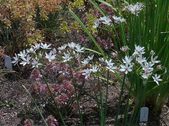 Allium%20mannii.jpg
