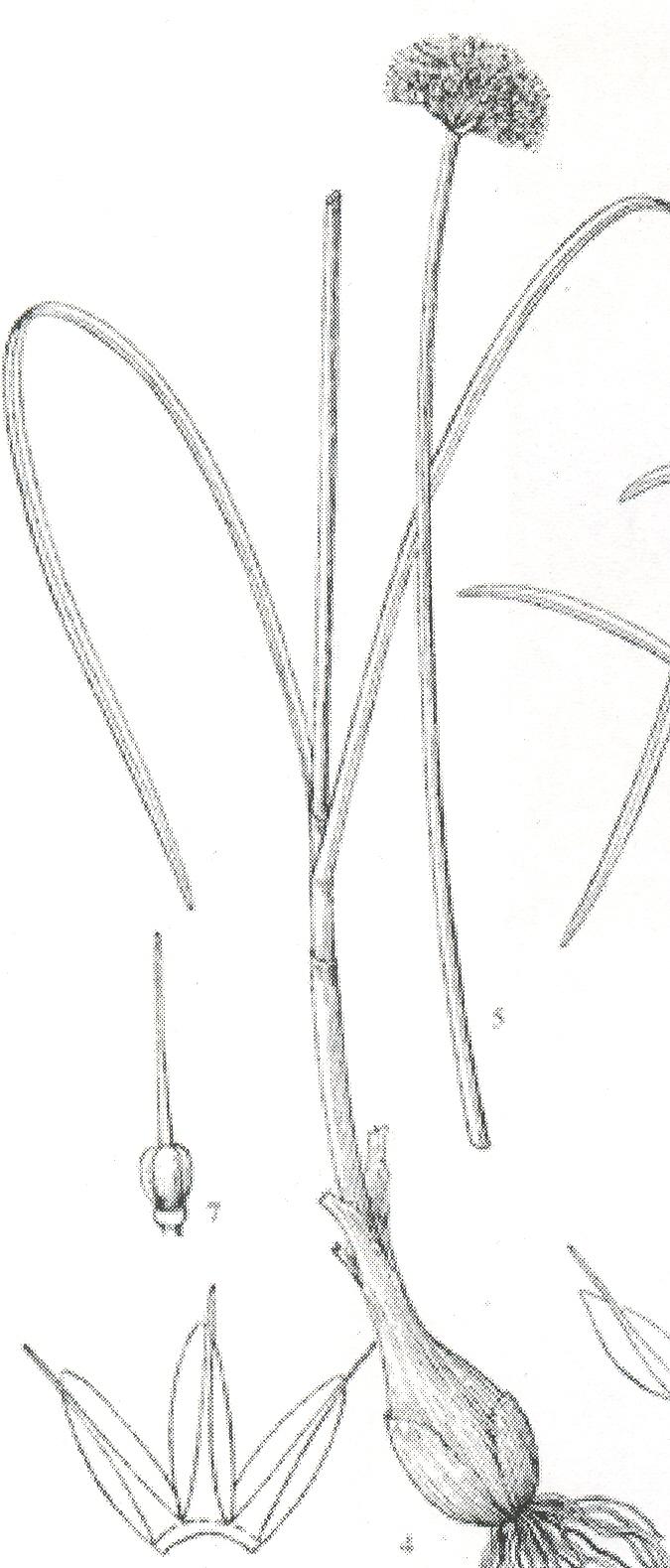 Allium%20maowenense.jpg