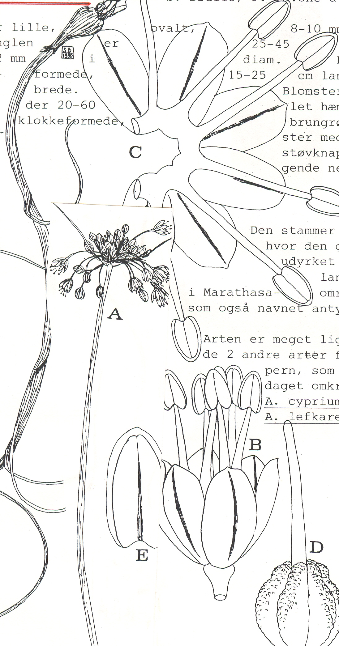 Allium%20marathasicum.jpg