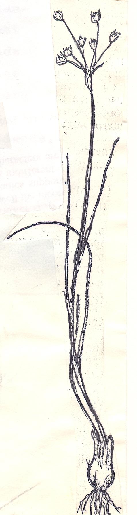 Allium%20margaritae.jpg