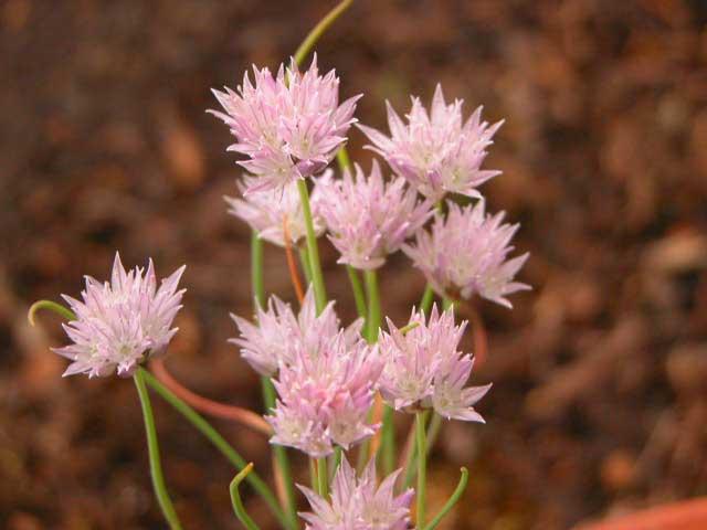 Allium%20maximowiczii.jpg