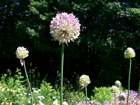 Allium%20megalobulbon.jpg