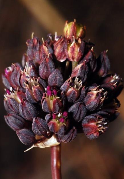 Allium%20melananthum.jpg