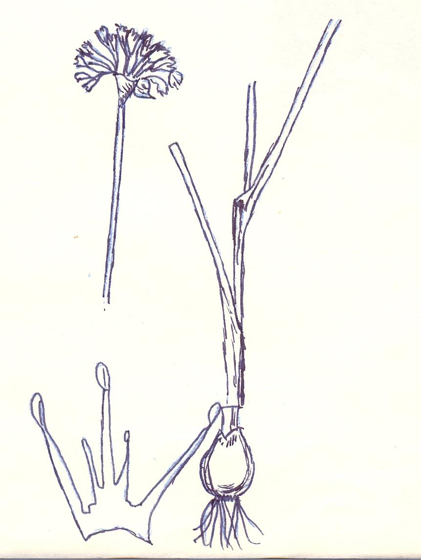 Allium%20micranthum.jpg