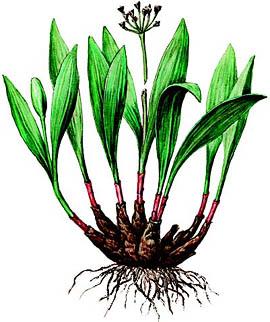 Allium%20microdictyon.jpg