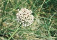 Allium%20minutum.jpg