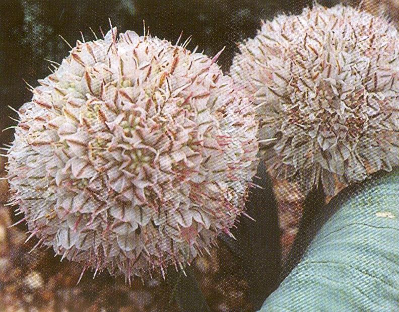 Allium%20mirum.jpg