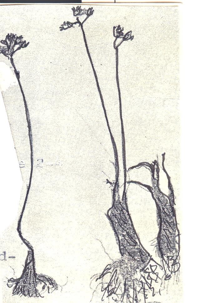 Allium%20mirzajevii.jpg