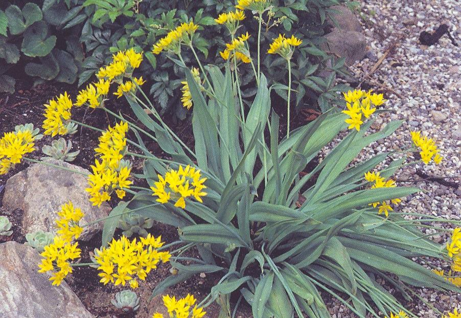 Allium%20moly.jpg