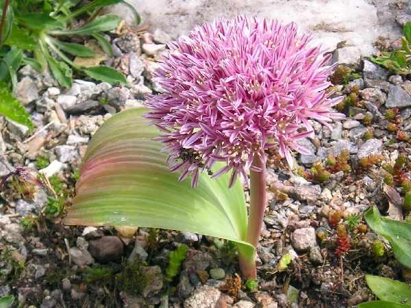 Allium%20monophyllum.jpg