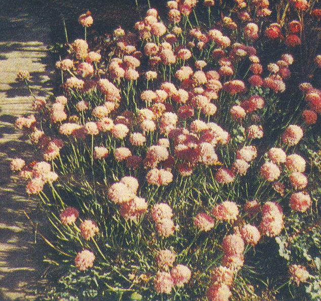 Allium%20montanum.jpg