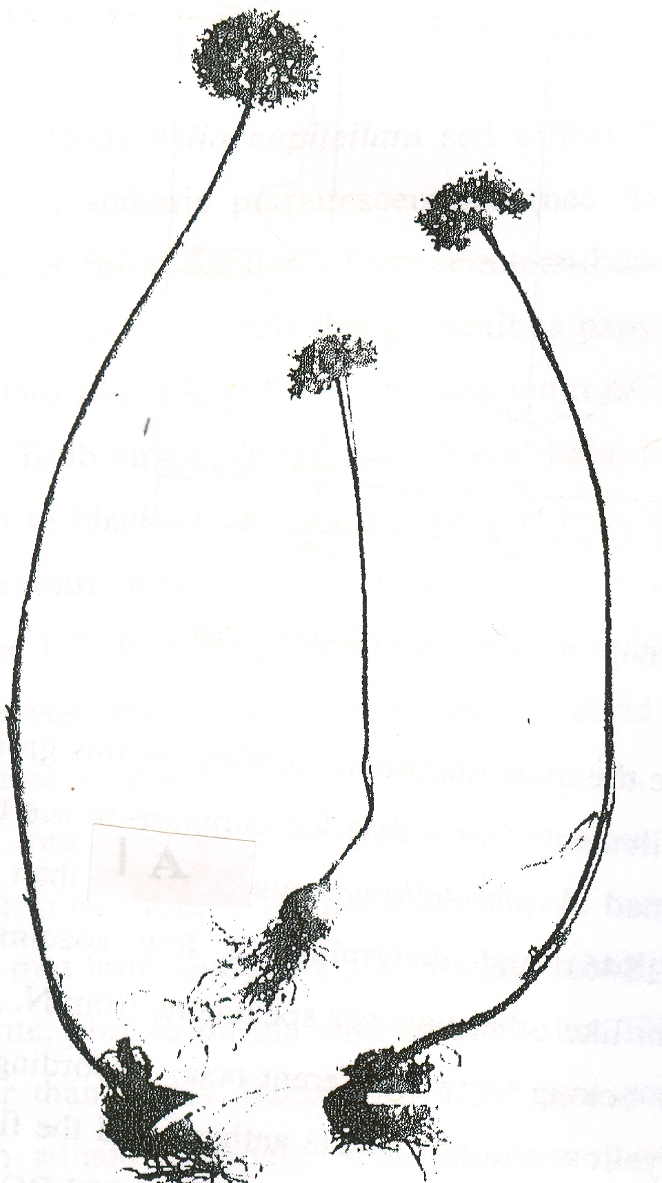 Allium%20montelburzense.jpg