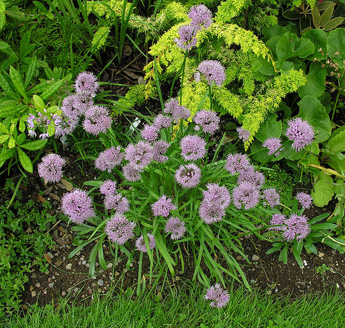 Allium%20montibaicalense.jpg