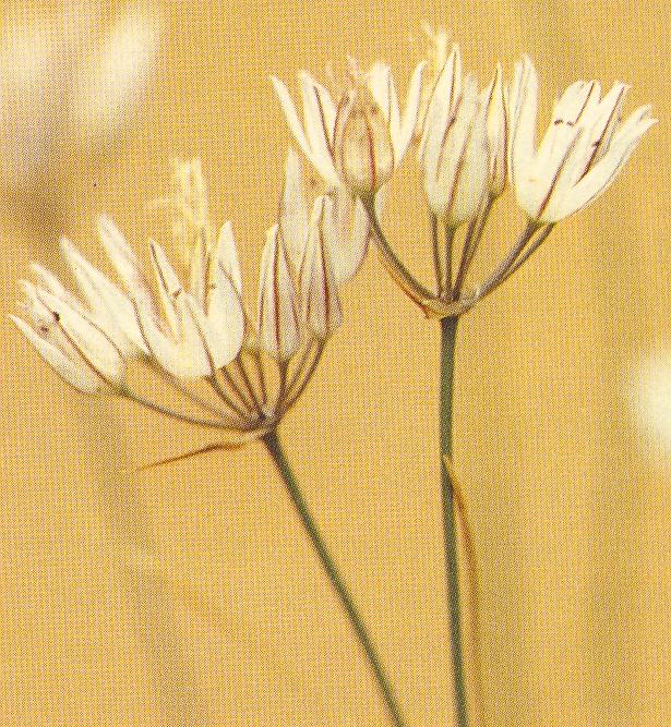 Allium%20moschatum.jpg