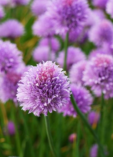 Allium%20motor.jpg