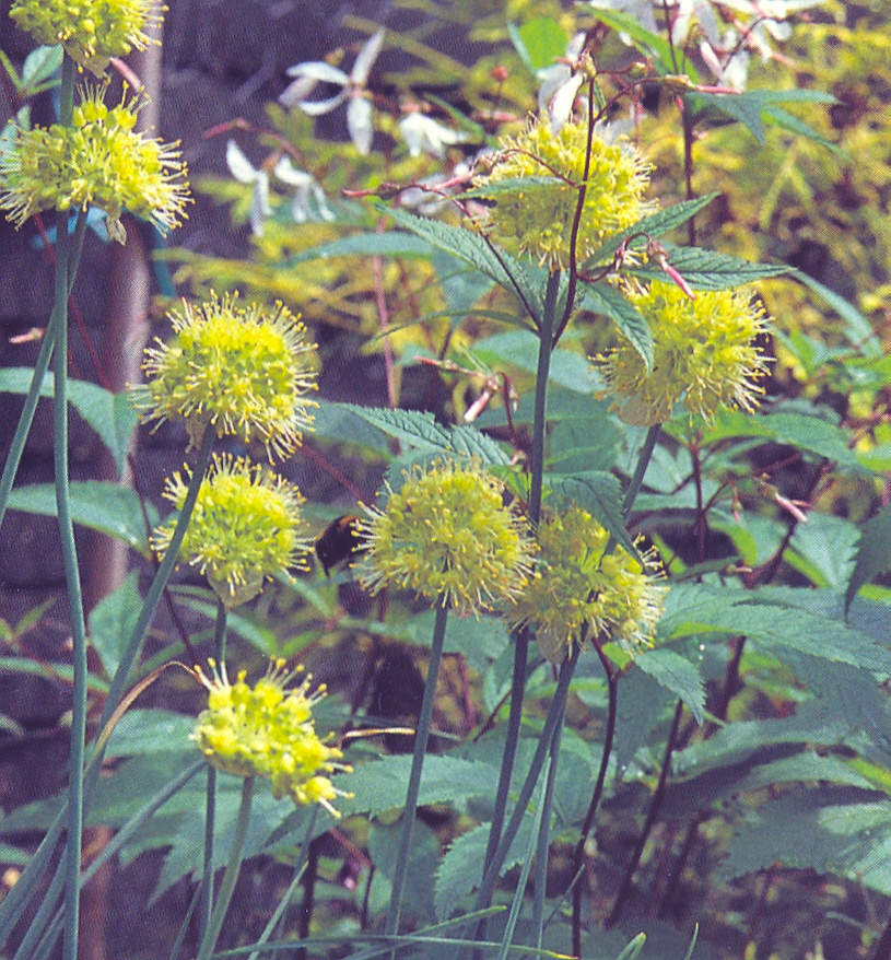 Allium%20obliquum.jpg