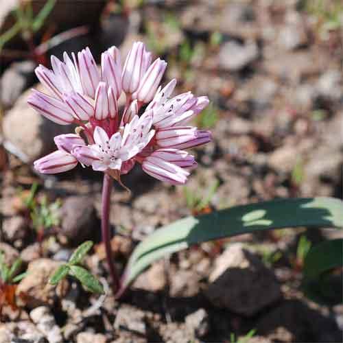 Allium%20obtusum.jpg