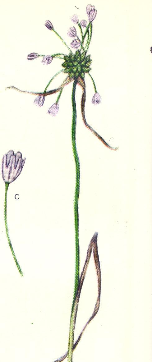 Allium%20oleraceum.jpg