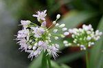 Allium%20oliganthum.jpg