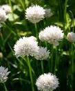 Allium%20oltense.jpg