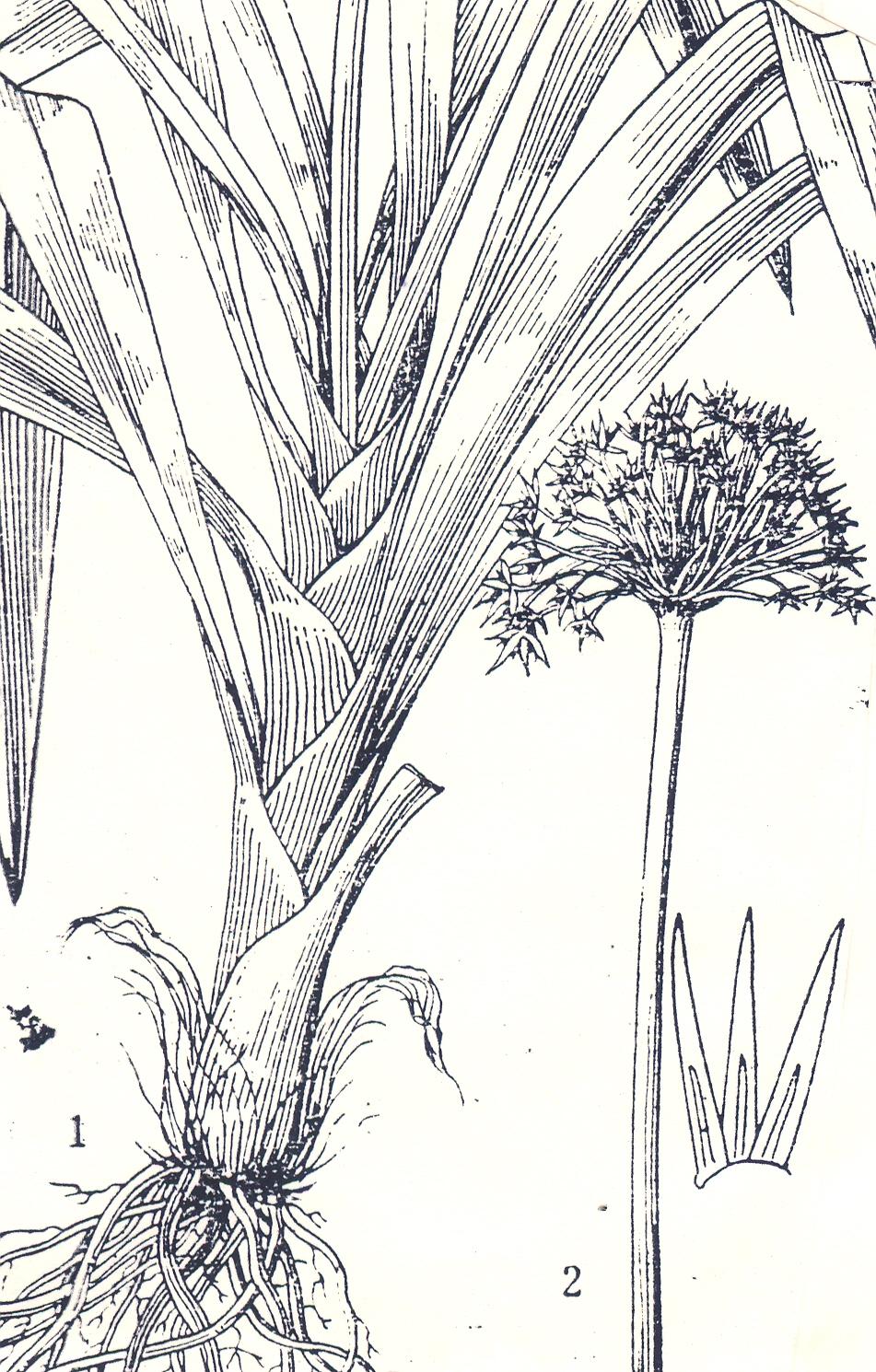 Allium%20omeinse.jpg