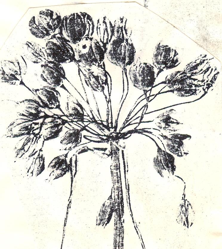 Allium%20opacum.jpg