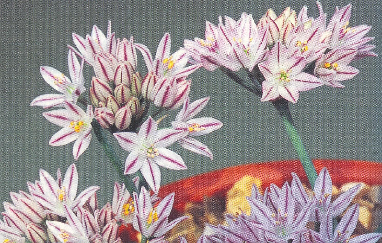 Allium%20oreophiloides(1).jpg