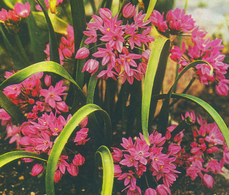 Allium%20oreophilum(1).jpg