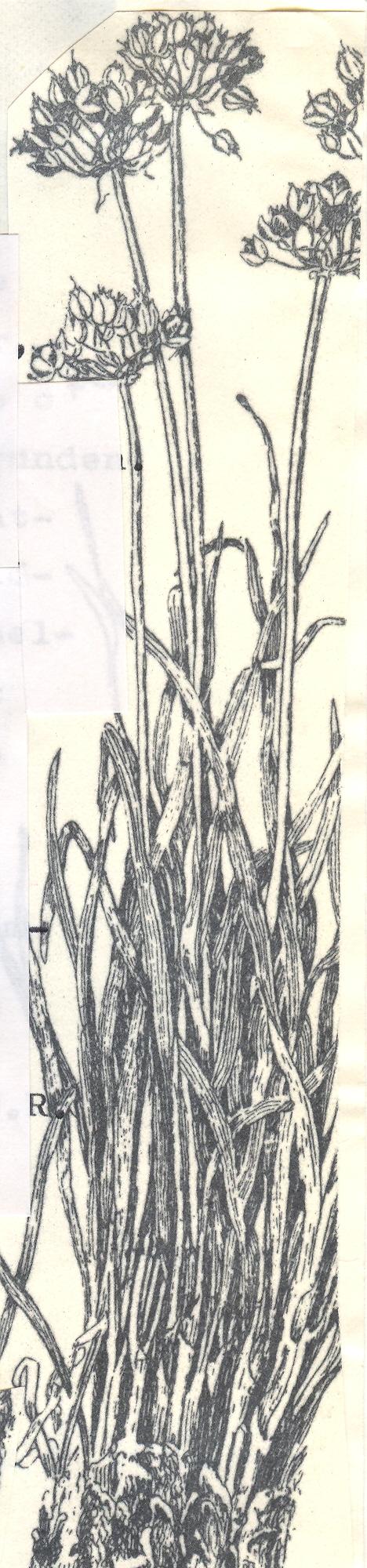Allium%20oreoprasoides.jpg