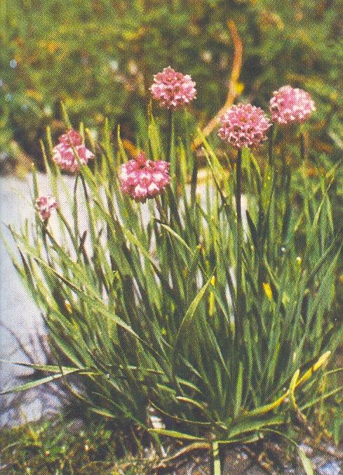 Allium%20oreoprasum.jpg