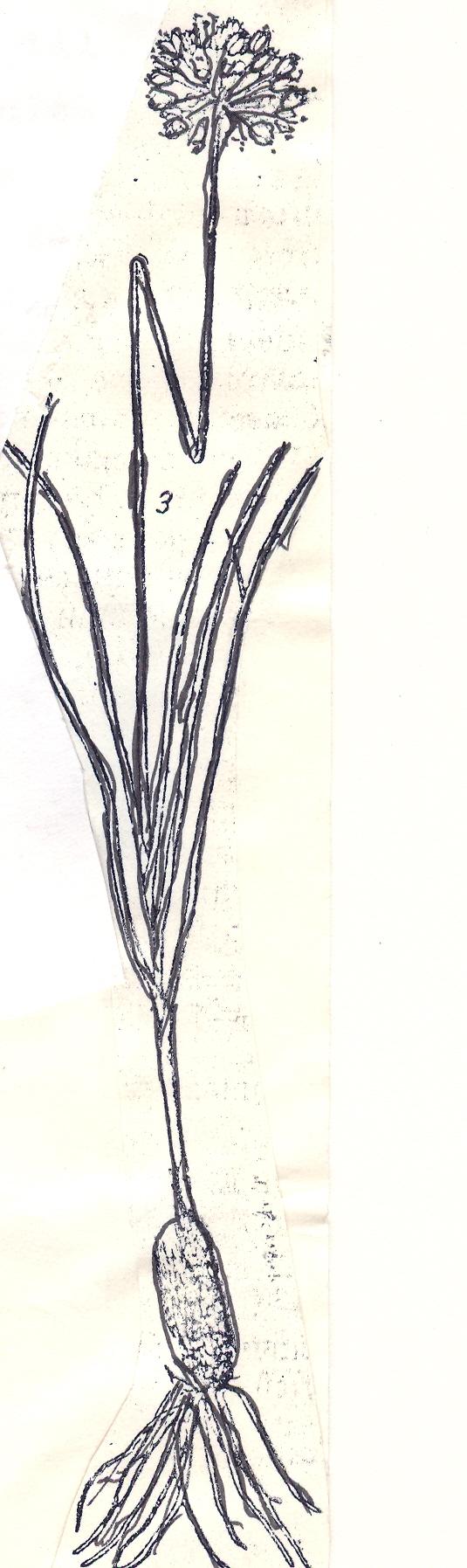 Allium%20oreoscordum.jpg
