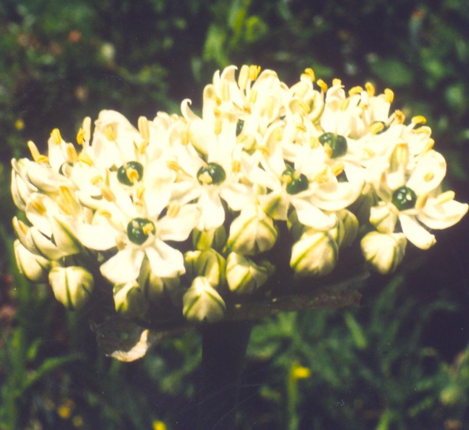 Allium%20orientale.jpg