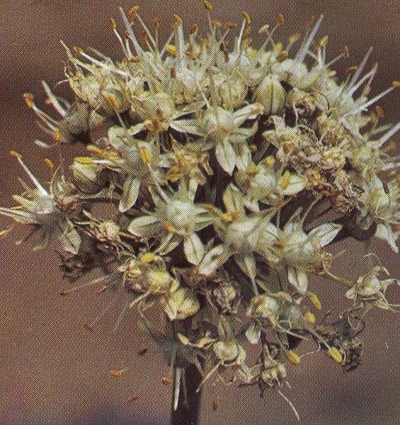 Allium%20oschaninii.jpg