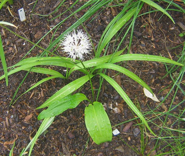 Allium%20ovalifolium.jpg