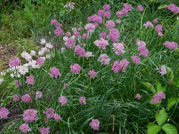 Allium%20palentinum.jpg