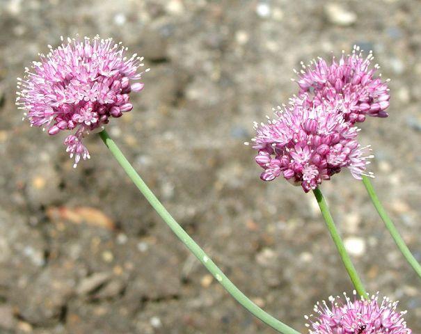 Allium%20pallasii.jpg