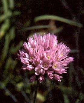 Allium%20pamiricum.jpg