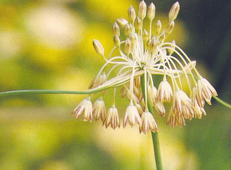 Allium%20paniculatum2.jpg